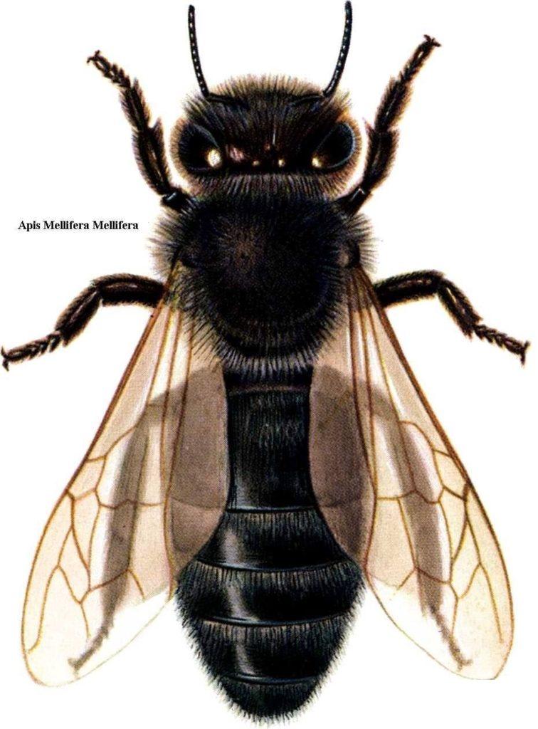 Kodėl vietinės bitės? - Lietuviškos vietinės bitės